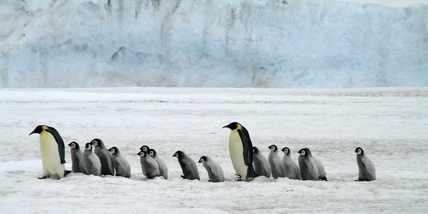 penguins walking on an ice floe